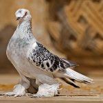 Dupa orice cursa, porumbeii trebuie ajutati sa se refaca